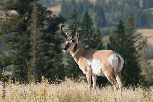 Pronghorn walking in grass