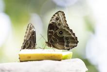 Farfalla Mangia Frutta