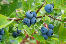 Fresh Organic Blueberries On T...