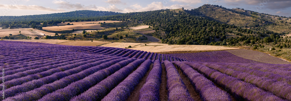 Panoramic of a lavender field in the province of Guadalajara. Spain