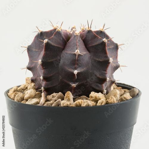 Foto op Canvas Cactus cactus in plastic pot
