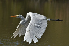 Great White Egret Flying By Wi...