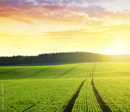 Fotobehang Zwavel geel Autumn landscape with green wheat field at sunrise.