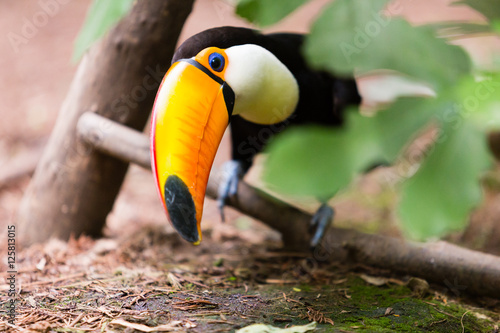 Toucan The Toucan Toco