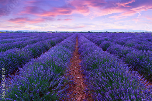 Foto op Canvas Snoeien Lavender field summer sunset landscape