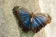Tropical butterfly Morpho peleides