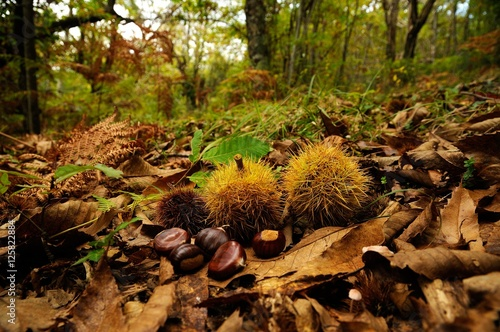 chestnuts in a forest in Tuscany, Italy. fall season.