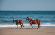 Spanish Mustang Horses On The Outer Banks Of NC