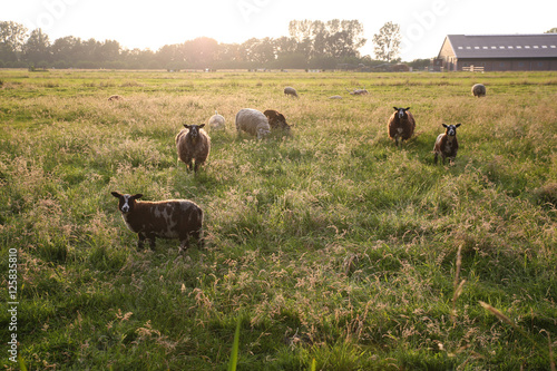 Canvas Prints Sheep Schapen in de wei