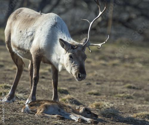 Papiers peints Scandinavie reindeer female and calf [Rangifer tarandus] .Norway.Tromso