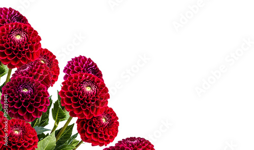 Poster Dahlia dahlia isolated on white