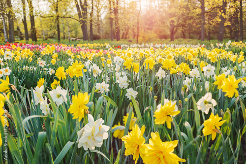 Photo Field of daffodils