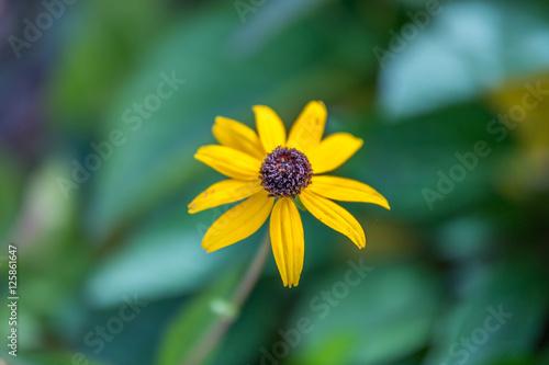 Yellow rudbeckia flower on green background close up beautiful yellow rudbeckia flower on green background close up beautiful yellow flower with a black mightylinksfo