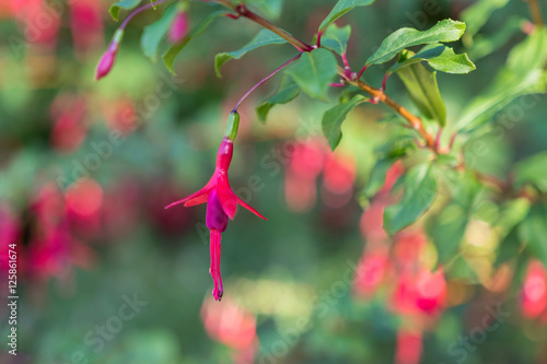 Beautiful flower fuchsia blooming in the garden Fototapeta