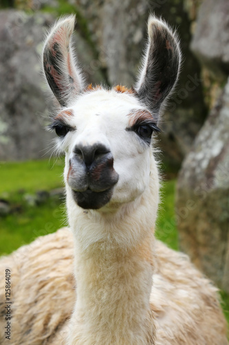 Spoed Foto op Canvas Lama Portrait of llama standing at Machu Picchu, Peru
