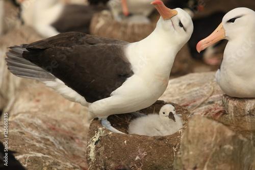 Fotografie, Obraz  Albatros Chick