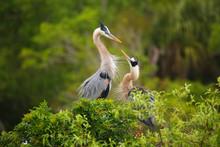 Great Blue Herons Standing In ...