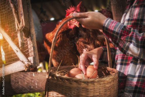 Cadres-photo bureau Poules a woman gathering fresh eggs into basket at hen house in countryside morning