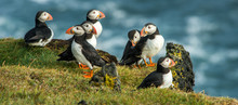 Puffin, Heimaey Coast, South I...
