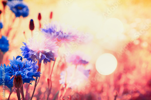 Poster Fleur Blue cornflowers in rays of sun with bokeh , floral nature background