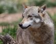A captive Eurasian Wolf (Canis lupus), Spain.