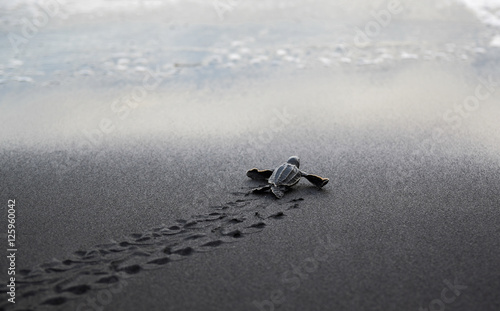 In de dag Schildpad Leatherback sea turtle hatchling