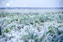 Green Grass Field Covered With Frost.