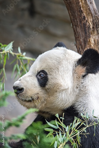 Fotografija  giant panda eating green  bamboo
