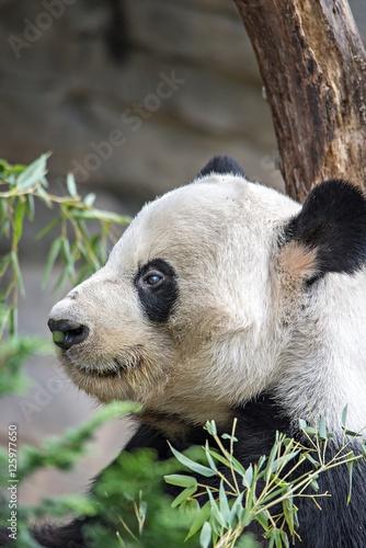 Fényképezés  giant panda eating green  bamboo