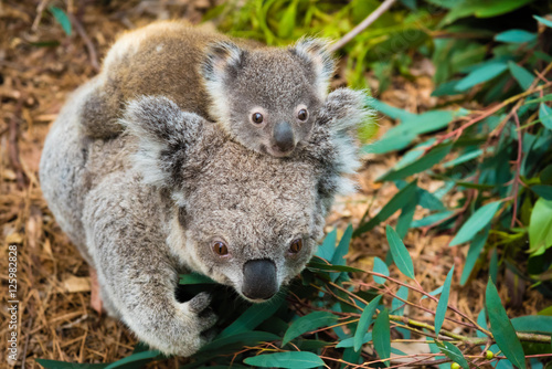 Staande foto Koala Australian koala bear native animal with baby