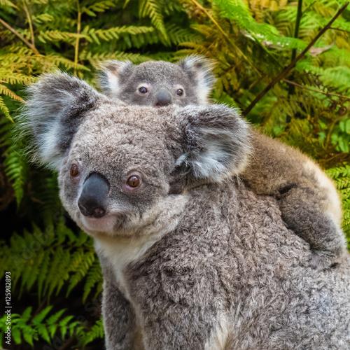 Garden Poster Koala Australian koala bear native animal with baby
