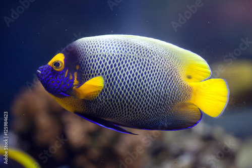 Yellow-faced angelfish (Pomacanthus xanthometopon) Canvas Print