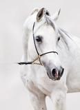 portret białego konia arabskiego na szarym tle - 125991484