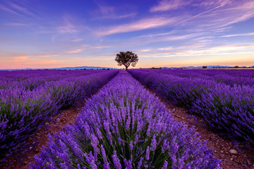Panel Szklany Tree in lavender field at sunrise in Provence, France
