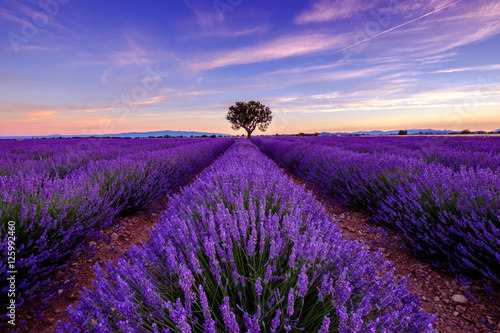 Spoed Foto op Canvas Violet Tree in lavender field at sunrise in Provence, France
