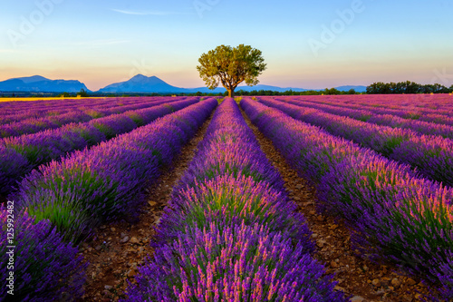 Poster Marron chocolat Tree in lavender field at sunrise in Provence, France