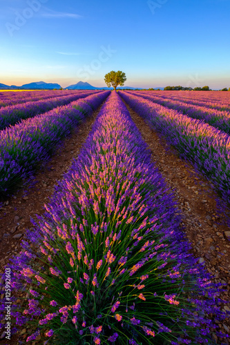 Tree in lavender field at sunrise in Provence, France Poster