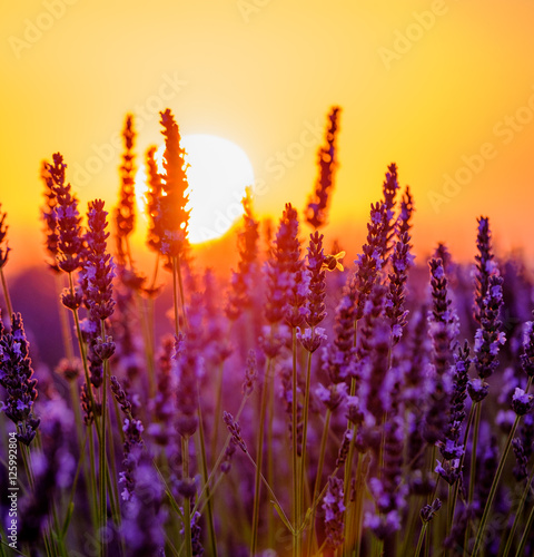 Valokuvatapetti Blooming lavender in a field at sunset in Provence, France