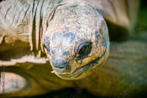 Fotografie, Obraz  Aldabra giant tortoise Dipsochelys dussumieri closeup