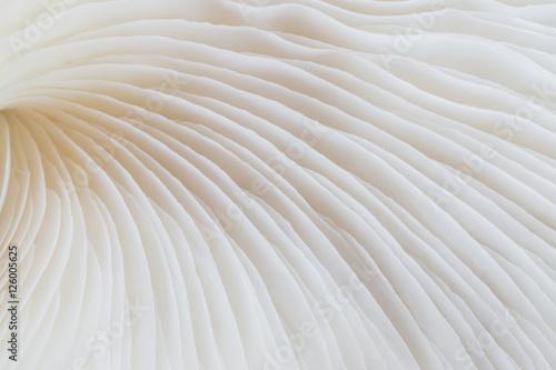 Obraz na płótnie abstract background macro image of mushroom, Sajor-caju mushroom