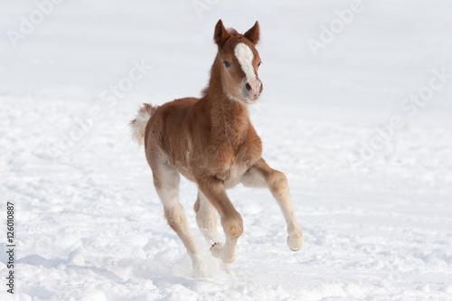 Fotografie, Obraz  Nice foal running