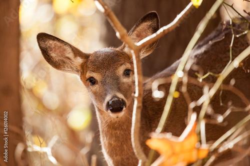 Fotobehang Ree Young Whitetailed Deer Doe