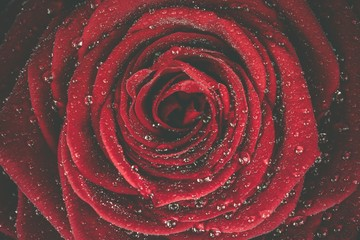 Obraz na Plexi Florystyczny Red Rose Dew Background