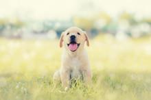 Dog In Field. Labrador Retriever Puppy In Field.