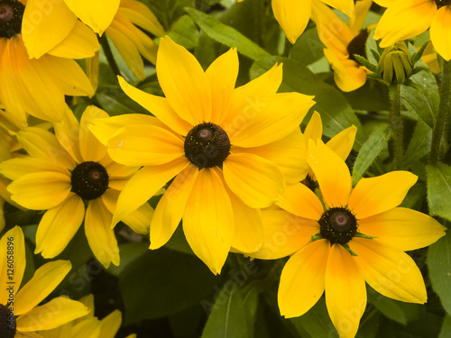 Valokuva  Black Eyed Susan, Rudbeckia hirta, yellow flowers close-up, selective focus, sha