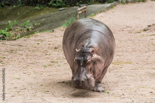 Photo Stands Kangaroo the hippopotamus walk and eat on the glound