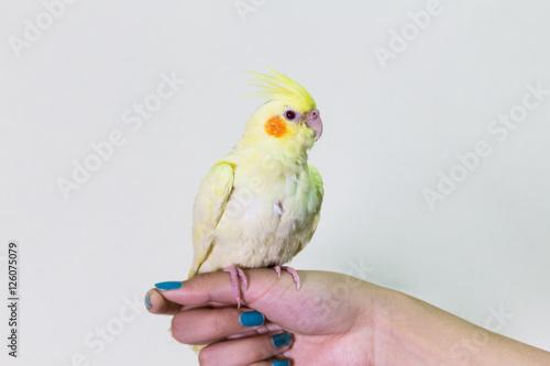 Valokuva  Cute yellow cockatiel bird on finger female.
