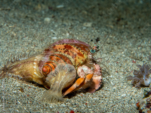 Photo Stands Egypt hermit crab under the sea
