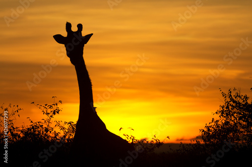 Obraz na plátně Typical african sunset with acacia trees and giraffe silhouette