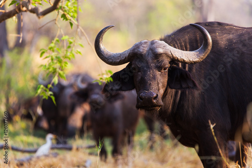 The African buffalo or Cape buffalo